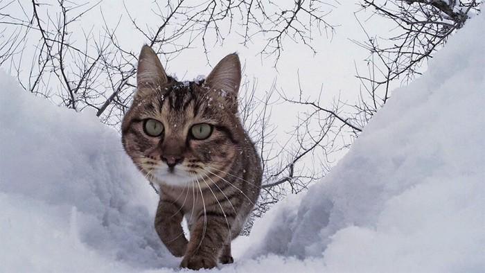 雪の中を歩く猫
