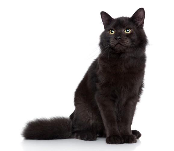 黒猫のサイベリアン