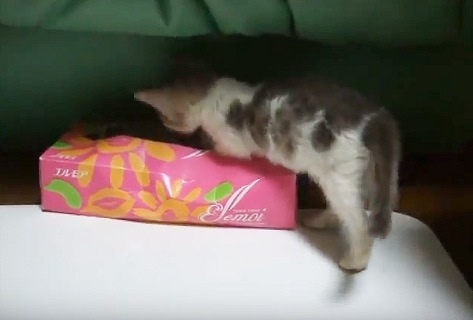 空のティッシュ箱で遊ぶ子猫