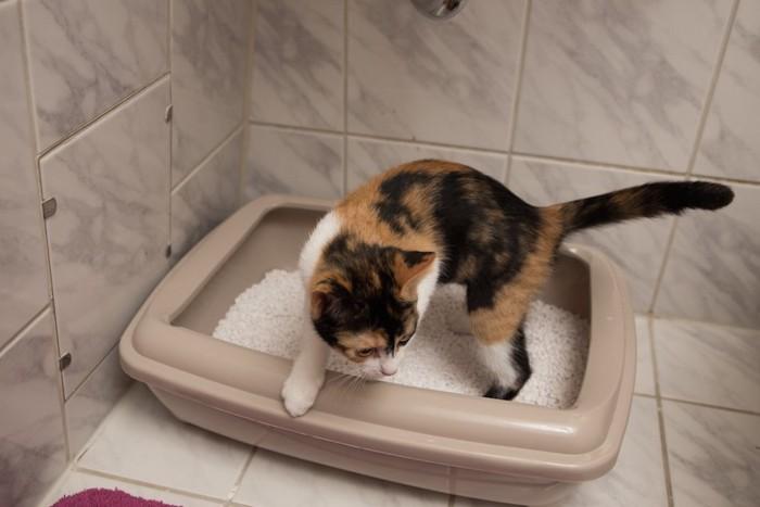 猫用トイレから出ようとしているミケ猫