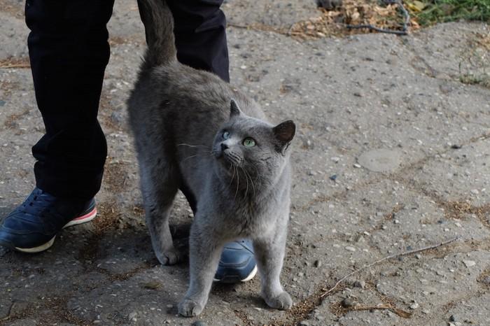飼い主の足にまとわりつく猫