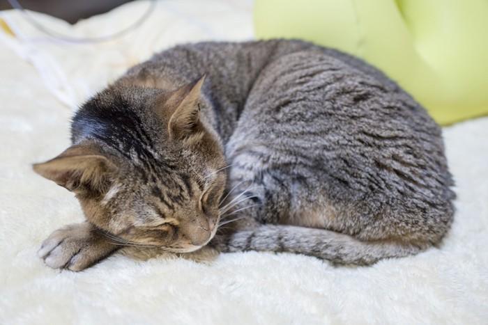 毛布の上で丸まって眠る老猫