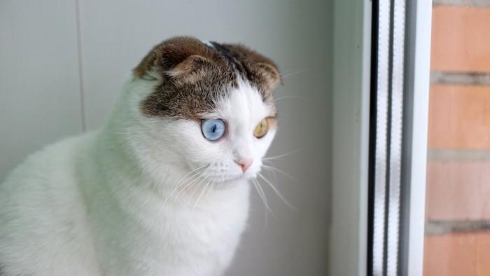 驚いた表情で窓の外を見るオッドアイの猫