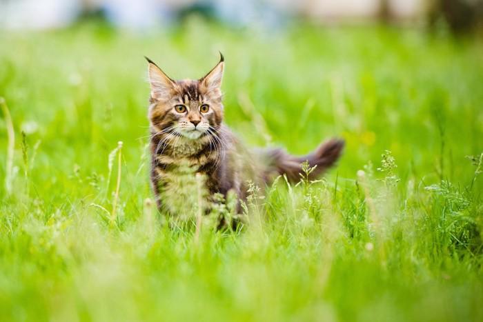 草原で遊ぶメインクーンの子猫