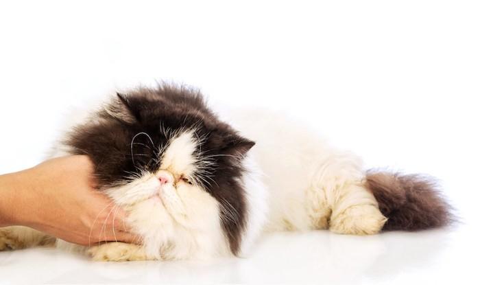 人に撫でられている長毛猫