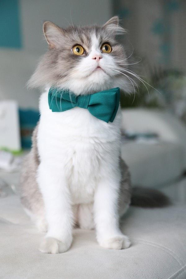 蝶ネクタイをする猫