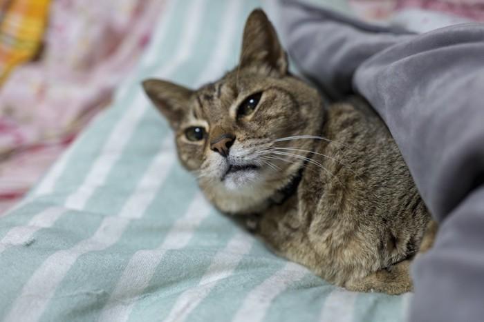 布団でくつろぐ老猫