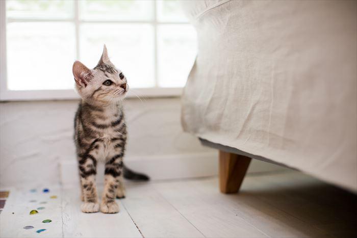 ソファーを見つめる猫