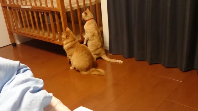 ベビーベッドを眺める2匹の猫