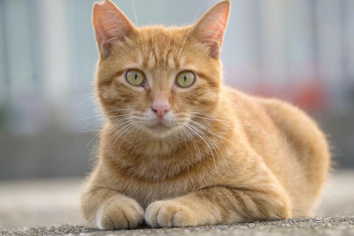 去勢されて耳をカットされた地域猫