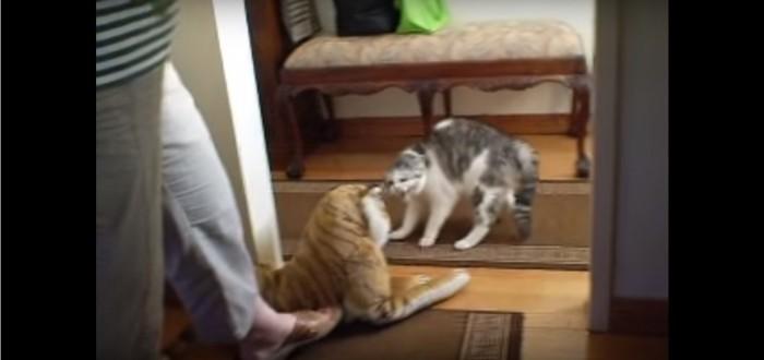 トラのぬいぐるみに威嚇をする猫