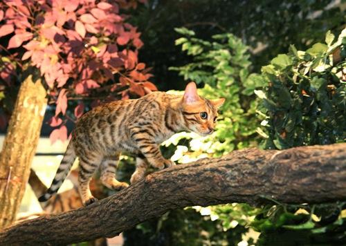 ベンガル木の上2