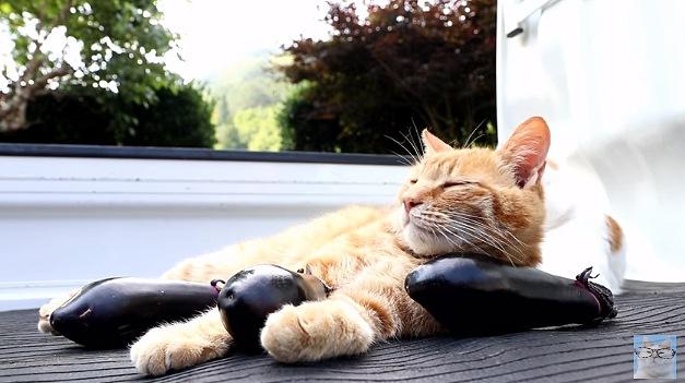 なす枕から顔を上げる猫