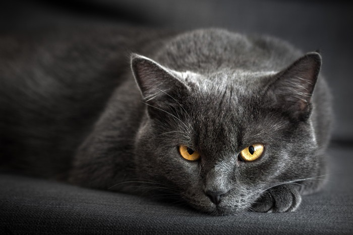 沈んだ雰囲気のグレーの猫