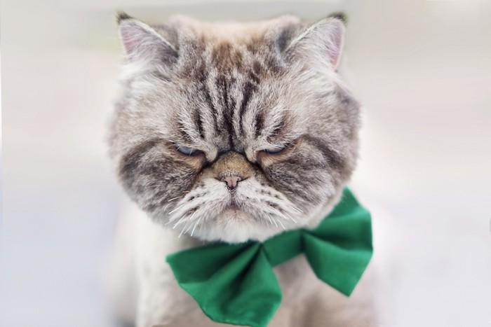 こちらを睨む緑のリボンをつけた猫