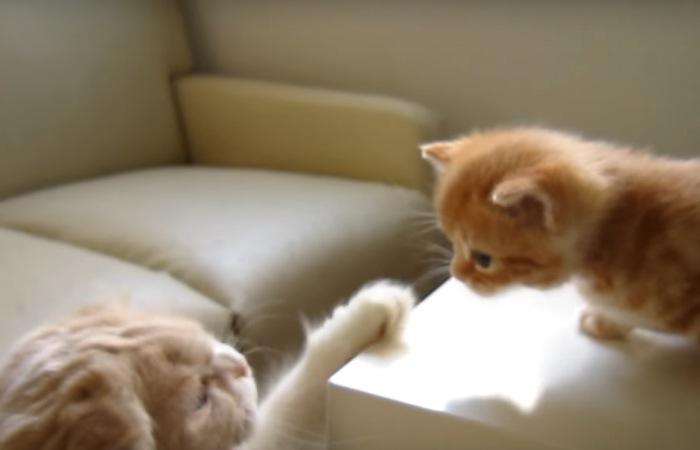 成猫に叱られる子猫
