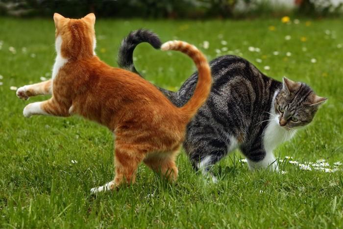 尻尾がハートの形にクロスした二匹の猫