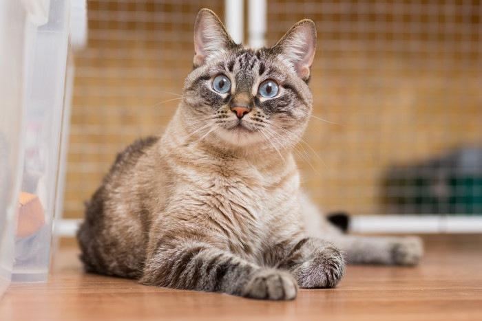 座っている青い目の猫