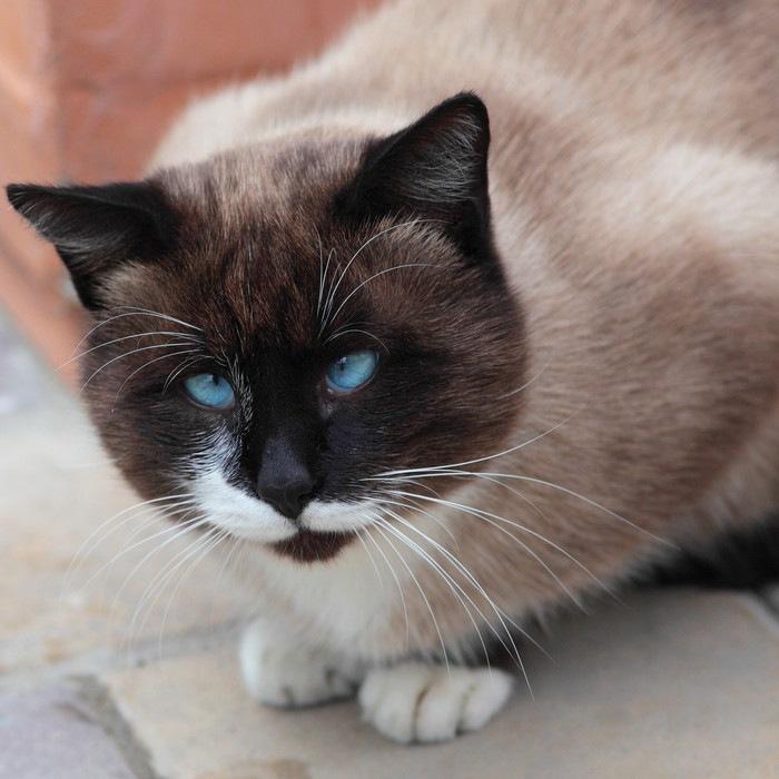 青い目の斜視の猫