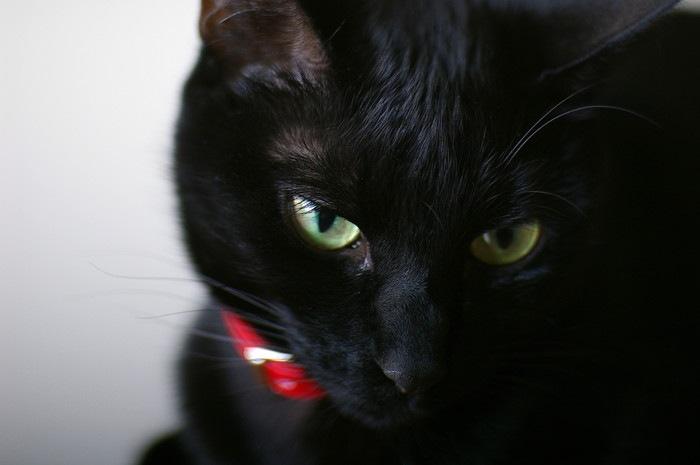 赤い首輪をしている黒猫