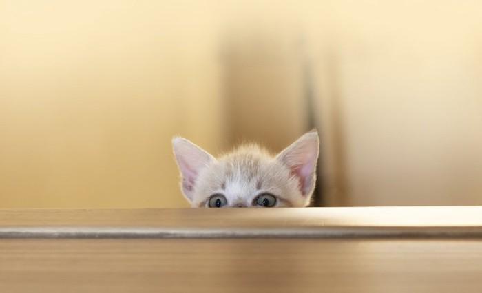 隠れてこちらを覗く子猫