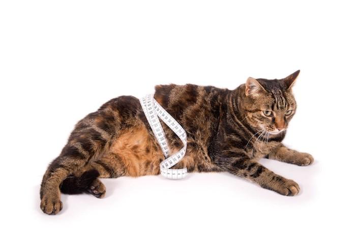 お腹にメジャーを巻いた猫