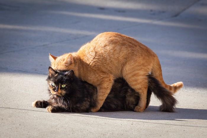 交尾のような姿勢をとる二匹の猫