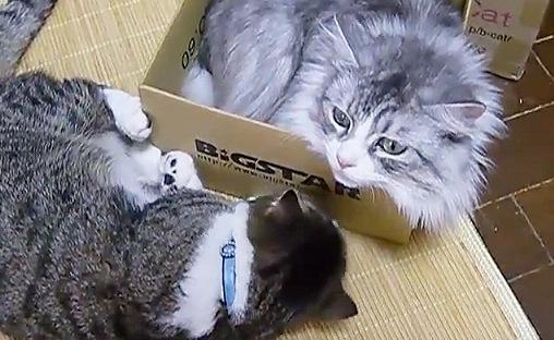 箱に入る猫と横で寝そべる猫