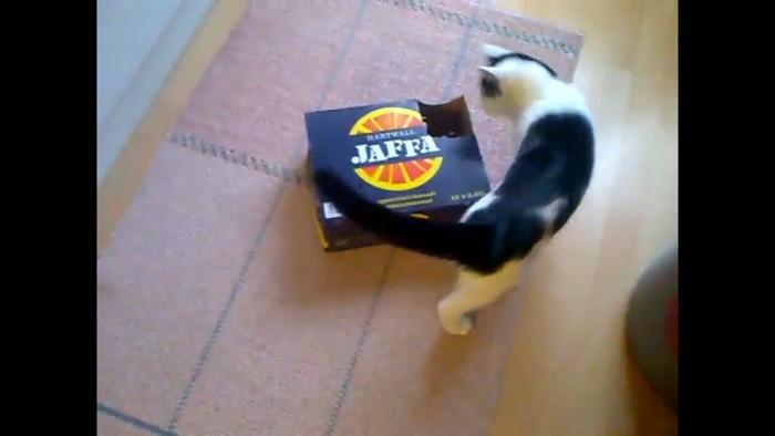 ダンボールを見つける猫