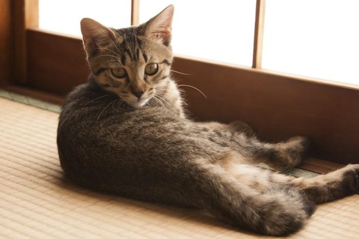 障子の前に寝そべる猫