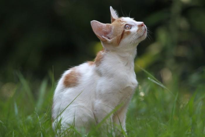 空を仰ぐ白茶猫