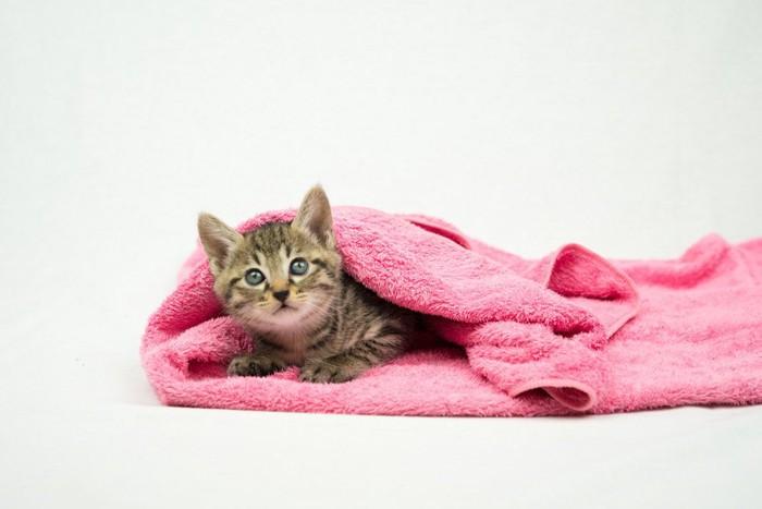 毛布から顔を出す猫