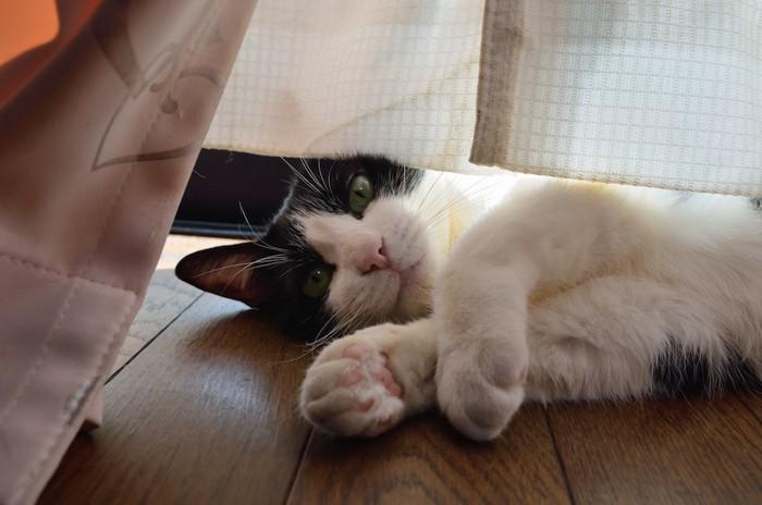 カーテンの隙間から眺める猫