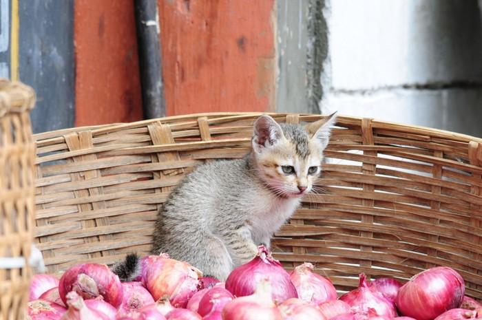 ブータンの子猫
