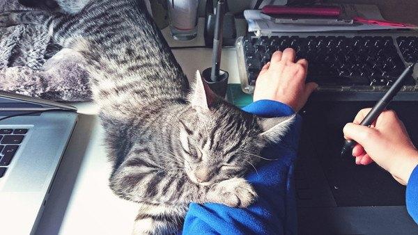 パソコンに置いている腕に枕する猫