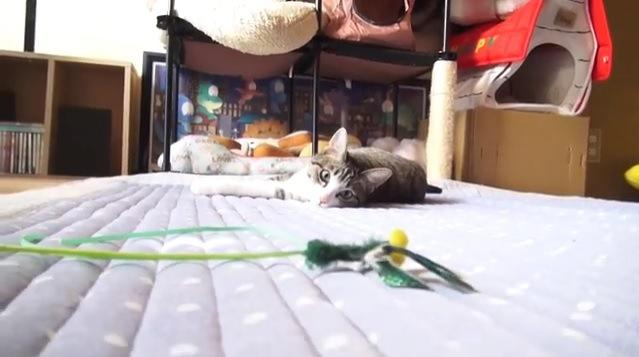 寝そべりオモチャを見つめる猫