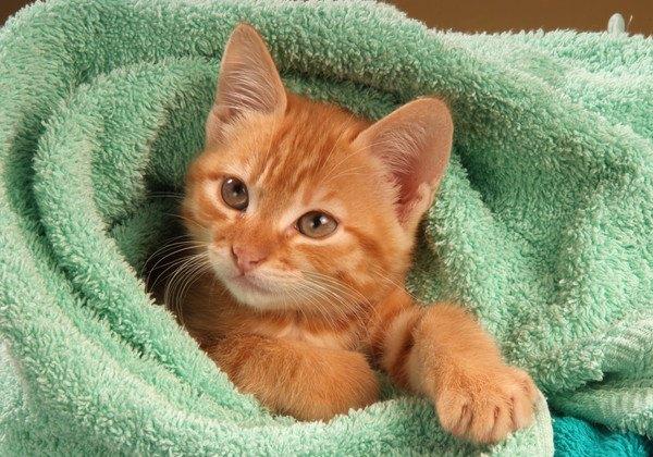 タオルに包まる子猫
