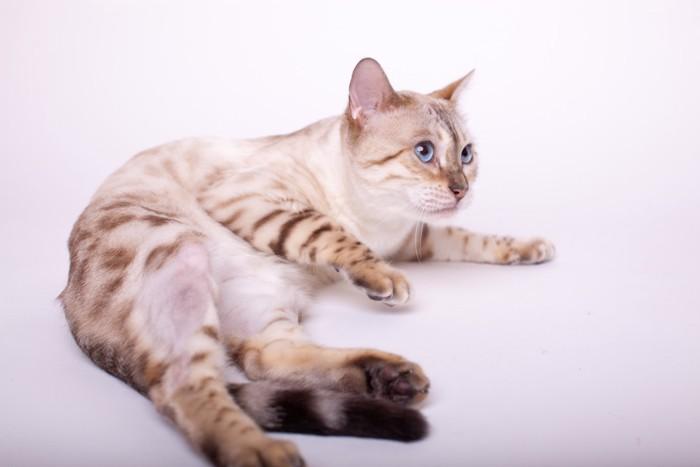 青い瞳のスノーベンガル猫