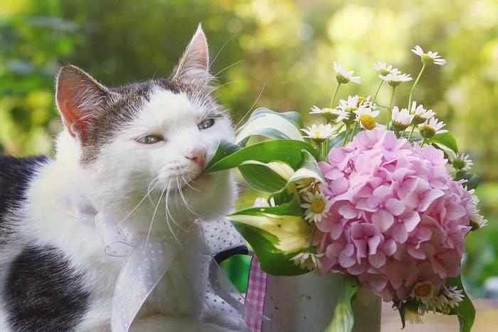 紫陽花を食べそうな猫