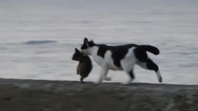 子猫をくわえて歩く母猫