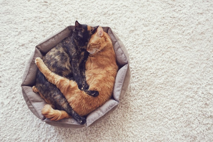 ベットの中でくっついて眠る二匹の猫