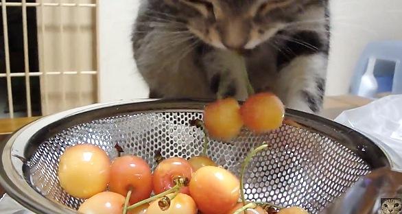 さくらんぼをくわえる猫