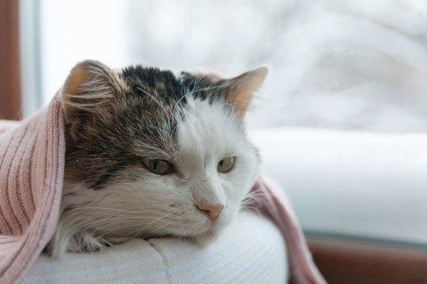 ピンクの布団に入る猫