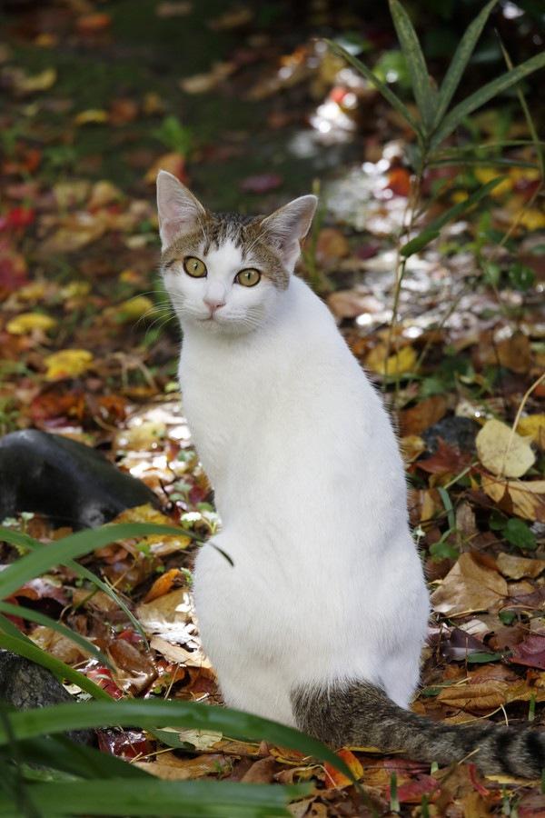 振り返る白猫
