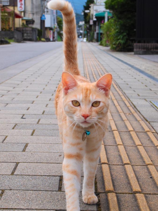 尻尾を立てて近づく猫