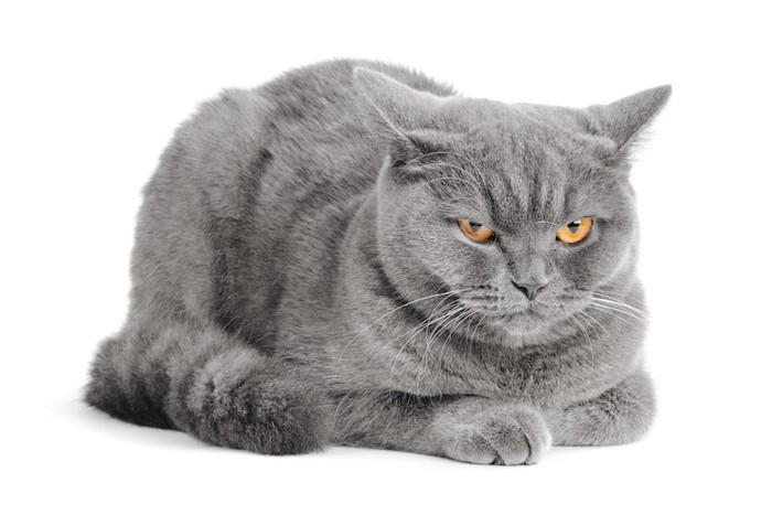 不機嫌な表情のグレーの猫