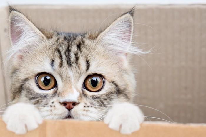 箱から顔を出す子猫の顔アップ