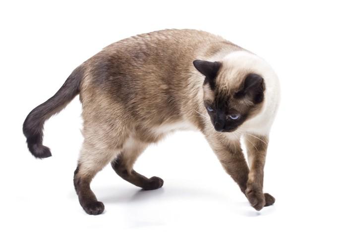 歩くシャム猫