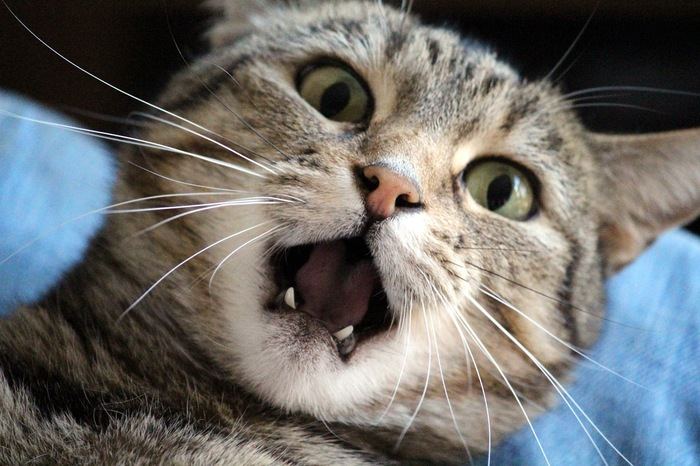 口を開けて驚くサバ猫