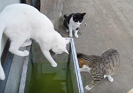 水槽の中が気になる3匹の猫たち
